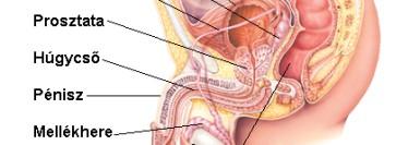 Prostatit urethritis Prostatis milyen vizelet